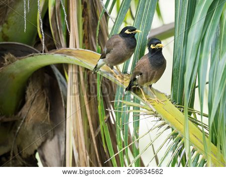 Pair of birds Common myna are sitting on a branch of a palm tree