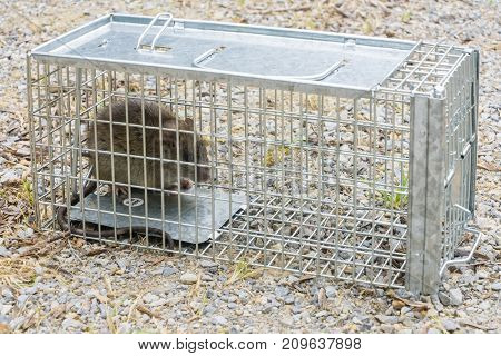 European Black Rat captured in a cage trap