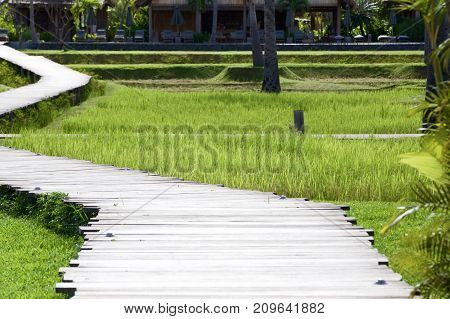Pathways and Paddy fields leading in one direction