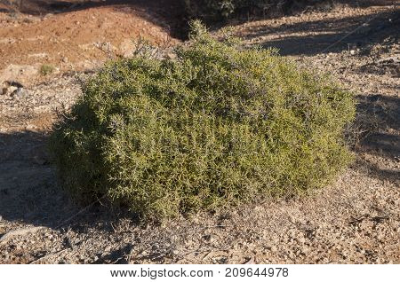 Specimen of Rosemary Rosmarinus officinalis. It is a woody perennial herb with fragrant native to the Mediterranean Region. Photo taken in Buendia Cuenca Spain.