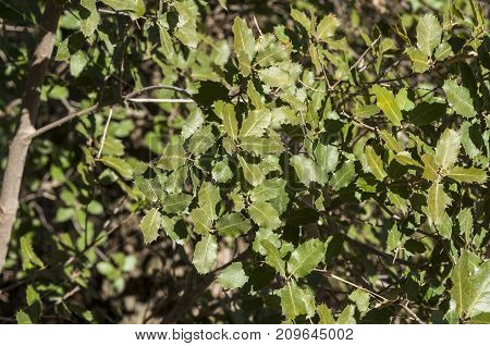 Detail of leaves and branches of Gall Oak Quercus faginea. It is a species of oak native to the western Mediterranean Region. Photo taken in Buendia Cuenca Spain.
