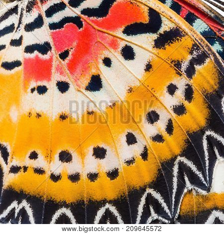 Butterfly wings texture close up of wings of Leopard Lacewing (Cethosia cyane) showing minute scales