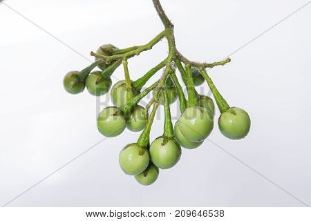 Turkey Berry (solanum Torvum Sw.) On White Background.(selective Focus Photograph) Asian Vegetables