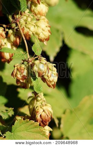 Hop cones in nature at autumn. Close-up selective focus copy space. Concept of autumn harvest.