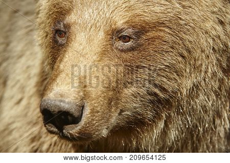 Brown bear head detail. Wildlife background. Horizontal