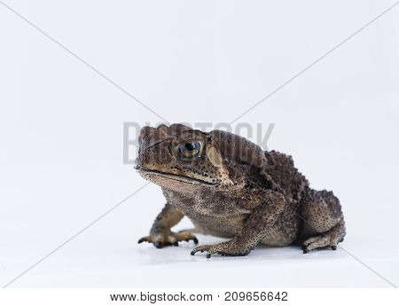 Asian common toad in fell of nature Amphibian of Thailand