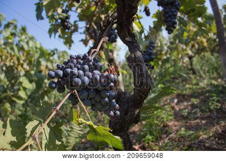 Red grapes hanging on a bush in a sunny beautiful day. Sunny bunches of Red wine grape on vineyard. Wine concept