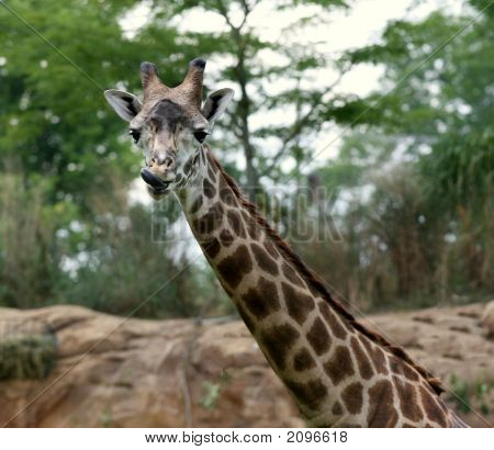 Humorous Giraffe Posing For The Camera