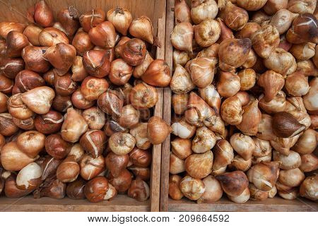 A lot of fresh tulip bulbs on a market table for sale.