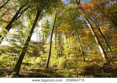 Autumn beech forest in the sunshine .