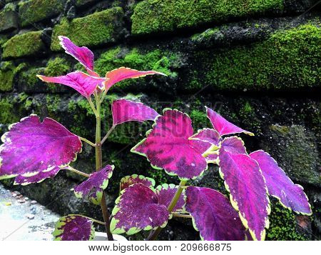 this red leafy plant is very easy to grow in various soil situations
