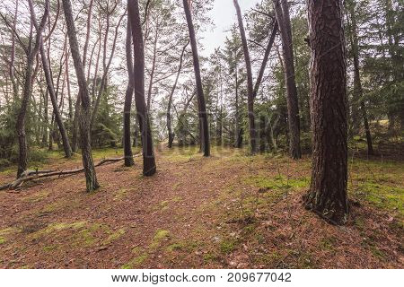Forest Without Bushes, Trunks Of Trees Without Branches