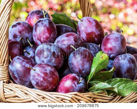 Plum harvest. Ripe plums in the basket on the table. Autumn garden at the background.