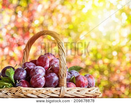 Plum harvest. Ripe plums in the basket on the table. Autumn blurred background.