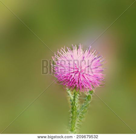 Flowering thistle close up in the soft sunlight . Bokeh  green background. Floral  thistle background pattern