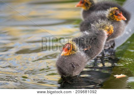 Close-up of beautiful little Baby Coots (Fulica) at the Lake. View on a beautiful young Coots in the Water. Moorhens and Coots. Nature and Animal Backgrounds.