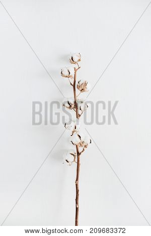 Pale cotton branch isolated on white background. Flat lay top view.