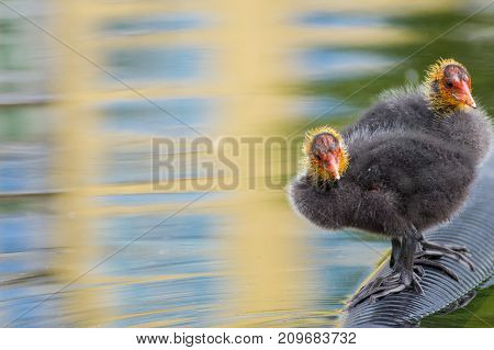 Close-up of little Baby Coots at the Lake. View on a beautiful young Coots in the Water. Moorhens and Coots. Nature and Animal Backgrounds.