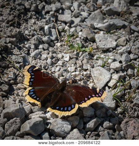 Mourning cloak butterly resting in the sun on stones