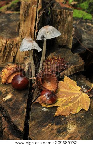 Autumn still life in a fall forest: mushrooms chestnuts and leaves