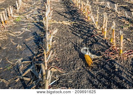 Closeup of a maize ear forgotten after harvesting of the silage maize in a large farm field. It is a sunny day in the Dutch fall season.