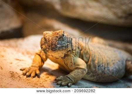 Angry Reptile on Rock. Not amused Reptile climbs the rocks