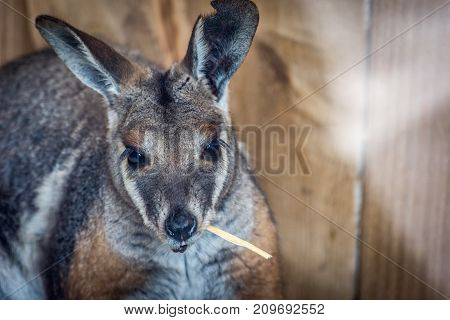 Wallaby chewing on hay. Grey brown Wallaby eating inside at Zoo