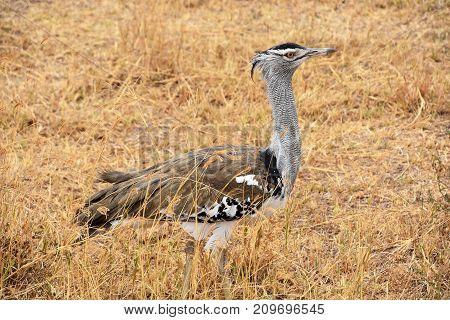 kori bustard the largest flying bird native to Africa at Ngorongoro crater, Tanzania poster