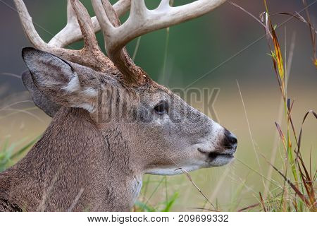 White-tailed deer buck closeup in a autumn meadow