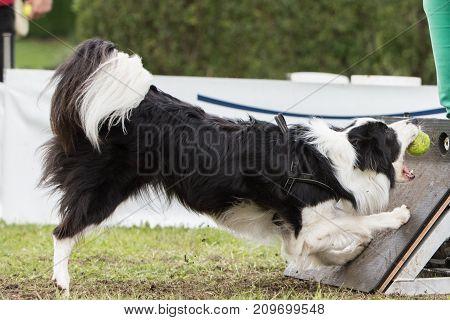 border collie collie dog dog sheepdog puppy animal nature pet outdoor park