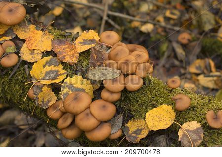 Autumn mushrooms on the mossy trunk of a tree with fallen leaves