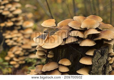 Colony of fungi on a rotten tree stump in autumn with beautiful bokeh
