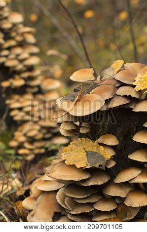 Colony of fungi on a rotten tree stump with fallen leaves in autumn with beautiful bokeh