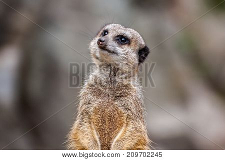 The meerkat or suricate is a small carnivoran belonging to the mongoose family. It is the only member of the genus Suricata