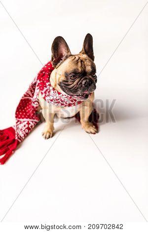 French Bulldog In Scarf
