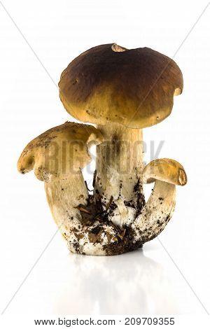 Porcini Mushroom Isolated close up of penny bun on white background