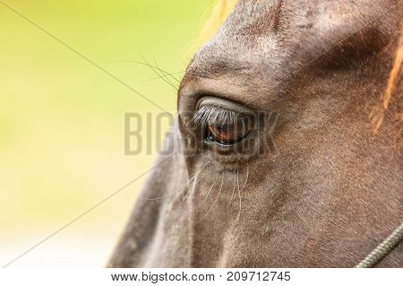 Detailed closeup of brown wild horse face on meadow idyllic field. Agricultural mammals animals in natural environment.
