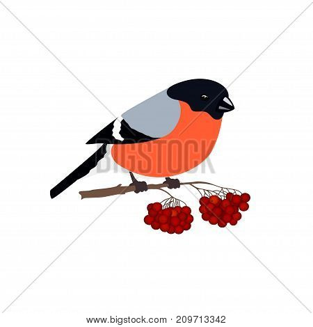 Bullfinch Isolated on White Background, Bullfinch Sitting on a Branch with Bunches of Rowan, Christmas Decorations Merry Christmas and Happy New Year