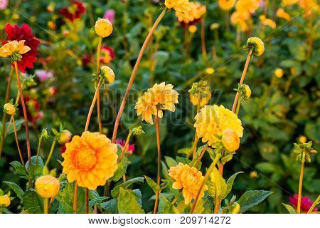 View of Colorful Dahlias growing in a field