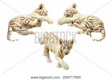 Three cute and baby white tigers, Panthera tigris, play together. Isolated on white background.