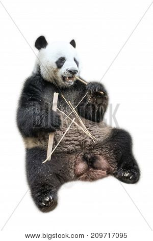 The Giant Panda sitting on the back while eating bamboo shoots, isolated on white background. The Giant Panda, Ailuropoda melanoleuca, also known as panda bear, is a bear native to south central China