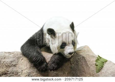 The Giant Panda, Ailuropoda melanoleuca, Also known as panda bear, is a bear native to south central China. Panda resting on a trunk, front view, isolated on white background.