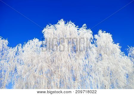Frost On A Tree Branches. Christmas.