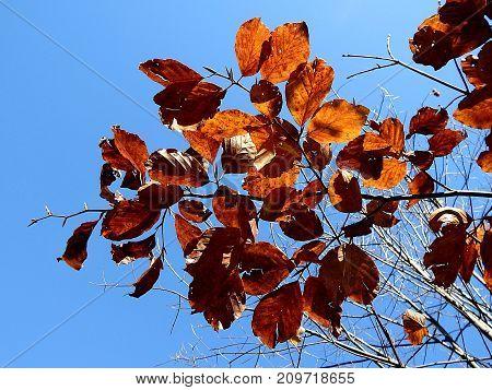 Colored beech leaf , (Fagus sylvatica) , Autumn-colors