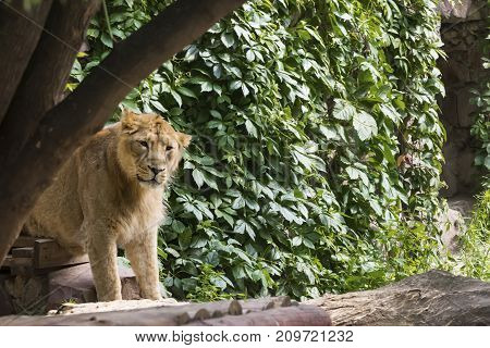 young lion male comes out of the zoo enclosure