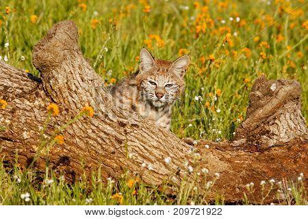 Bobcat (Lynx rufus) sitting behind a log