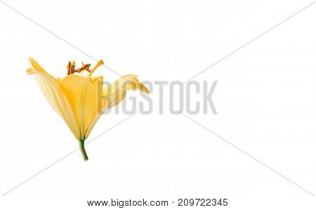 Single yellow lily flower head isolated on white background.