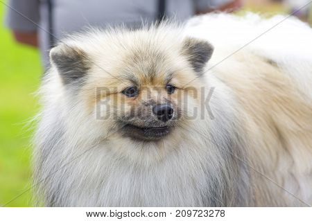 Spitz unusual light color is a decorative breed of dogs. Space under the text. 2018 year of the dog in the eastern calendar Concept: parodist dogs, dog friend of man, true friends, rescuers.
