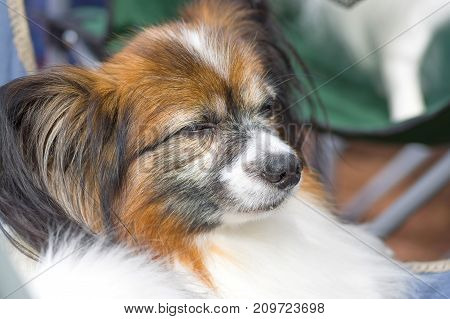 Continental toy spaniel Papillon Dog frowns in the bright sun. Space under the text. 2018 year of the dog in the eastern calendar Concept: parodist dogs, dog friend of man, true friends, rescuers.