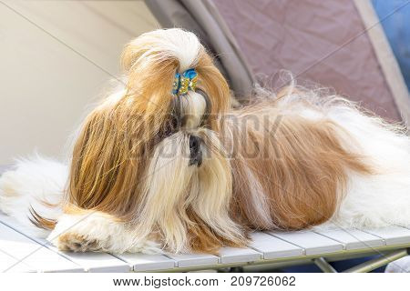 Yorkshire Terrier, green background. Space under the text. 2018 year of the dog in the eastern calendar Concept: parodist dogs, dog friend of man, true friends, rescuers.